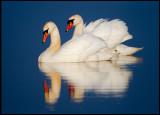 Mute Swans - Lake Hornborga