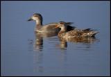 A pair of Gadwalls in lake Hornborga