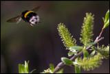 Flying Earth Bumblebee - Västmanland