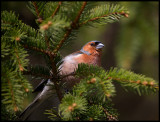Chaffinch - one of the most common birds in Sweden