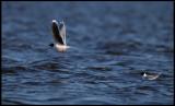 Little Gulls (Larus minutus) in Lake Bergundasjön