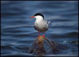 Common Tern resting in Lake Norra Bergundasjön