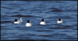 A flock of adult Little Gulls