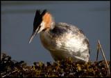 Great Crested Grebe at nest (Skäggdopping - Podiceps cristatus) Västervik