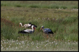 4 White Storks (yes there is one moore outside the picture) at Bjärby swamp