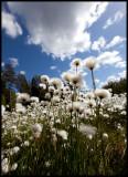 Common Cottongrass (Ängsull - Eriophorum angustifolium) Högsby