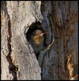 Good Morning - You like my tongue? Wryneck (Göktyta - Jynx torquilla) in nesting hole