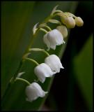 Lilly of the Valleys (Liljekonvalj - Convallaria majalis)