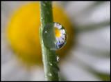 A raindrop and Daisy (Tusensköna - Bellis perennis) in my garden