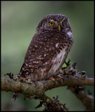 Pygmy Owl (Sparvuggla - Glaucidium passerinum) - Levanger Norway