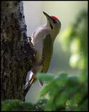 Male Grey-headed Woodpecker (Gråspett - Picus canus) - Norway