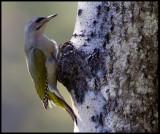 Female Grey-headed Woodpecker (Gråspett - Picus canus) - Norway