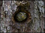 Pygmy Owl (Sparvuggla - Glaucidium passerinum)  no need for a big nesting hole.....