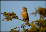Ortolan Bunting (Emberiza hortulana) singing near Ottenby