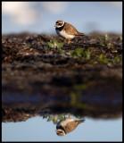 Common Ringed Plover (Större strandpipare - Charadrius hiaticula)  Öland