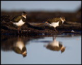Young Lapwings - Eckels udde