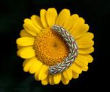 Larva on Yellow Chamomille (Färgkulla - Anthemis tinctoria) Grönhögen