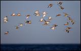 Bar-tailed Godwits (Myrspovar - Limosa lapponica) on migration near Ottenby