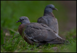 Young Common Wood Pigeons (Ringduvor) in Näsby