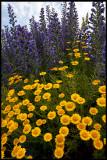 Färgkulla (Anthemis tinctoria) och blåeld - Grönhögens kalkbrott