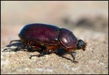 Female Rhinoceros beetle (Noshornsbagge - Oryctes nasicornis) in my garden - Grönhögen