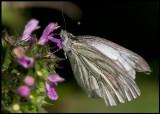 Rapsfjäril (Green veined White - Pieris napi) most common butterfly in Sweden - Ventlinge Öland