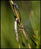 Mating Lestes dryas (Kraftig smaragdflickslända) - Ottenby Öland