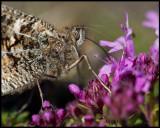 Butterfly collecting nectar on Allvaret - Öland