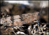 Blåvingad gräshoppa (Sphingonotus caerulans) Allvaret - Öland