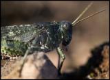 Rosenvingad gräshoppa (Bryodema tuberculata) Allvaret - Öland