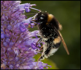 Bumblebee pollination - Öland