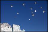 Kittywakes at the edge of a glacier