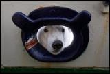 Polar bear looking inside M/S Origo......