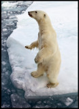 Polar bear tryig to look inside our boat