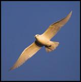 Ivory Gull in evening light