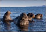 Walruses at Svalbard