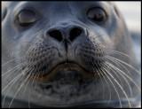 Harbour seal  - Prins Karls Forland