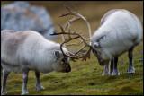 Two bulls of the Spitsbergen Reideer race at Alkhornet