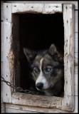 Husky dog house