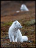 Two Arctic Foxes in Longyearbyen
