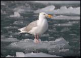 Vittrut / Glaucous Gull (Larus hyperboreus)