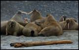 Walrus colony at Phipps Island