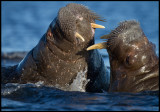 Walruses having a small fight in the water