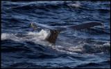 Knölval (Humpback Whale - Megaptera novaeangliae) diving