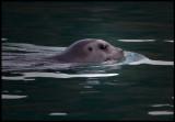 Storsäl (Bearded Seal - Erignathus barbatus)