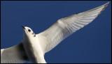Kittywake wing