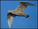 A juvenile Glaucous Gull (Vittrut)