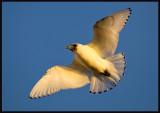 Juvenile Ivory Gull in sunset light