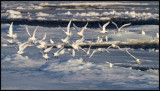 A flock of Ivory Gulls (ismåsar) in the pack ice