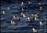 A flock of Fulmars (Stormfåglar)